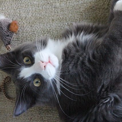 Kitty Surprised in the Act of Using His Interactive Cat Toy