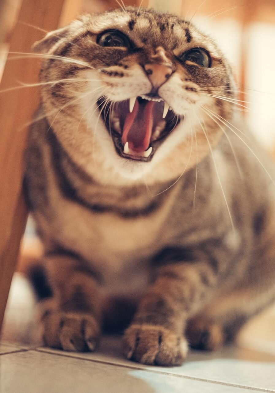 Toy Aggression in Cats - What It Is Why It Happens and How to Help It - Cats Will Play - Image by Fang_Y_M via Pixabay